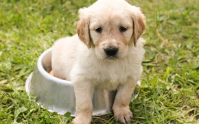Picture grass, look, nature, dog, muzzle, puppy, sitting, Golden Retriever