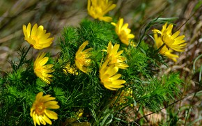 Picture flowers, nature, spring, primroses, sunlight, yellow petals, Adonis, Adonis spring, tender greens, the breeze