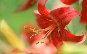 Picture macro, petals, tiger Lily