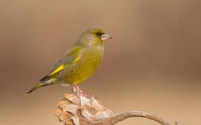 Picture bird, sunflower, bird