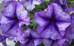 Picture macro, flowers, purple, petunias, Meduzanol ©