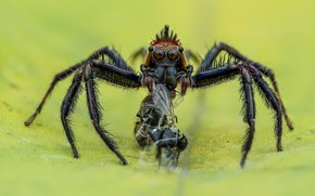 Picture macro, fly, background, the victim, spider, insect