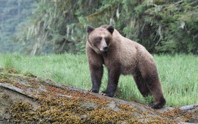Picture forest, nature, pose, rain, bear