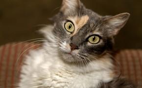Picture cat, blurred background, tri-color
