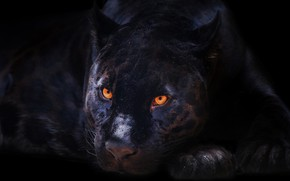 Picture look, face, Panther, black background, porter