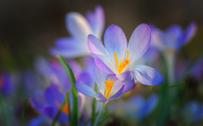 Picture flowers, glade, spring, crocuses, gentle, lilac