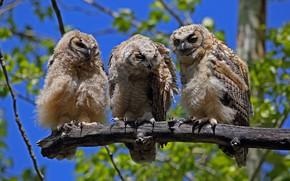 Picture birds, owl, foliage, branch, three, owls, trio, blue background, Trinity, three birds, three owls
