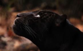 Picture face, predator, Jaguar