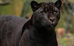 Picture face, predator, Jaguar, wild