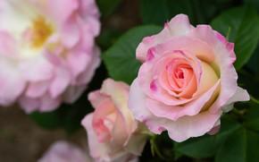 Picture macro, roses, petals