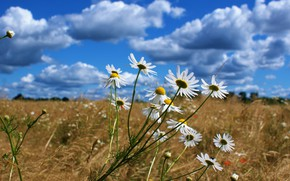 Picture field, summer, the sky, clouds, flowers, blue, chamomile, spikelets, meadow, white