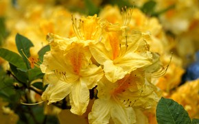 Picture macro, flowers, yellow, Azalea, rhododendrons