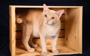 Picture cat, box, the dark background, Burma, The Burmese Shorthair