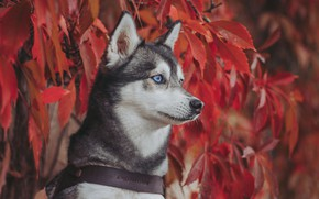 Picture autumn, look, face, leaves, portrait, dog, Husky, wild grapes