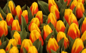 Picture bright, bouquet, spring, tulips, buds, a lot, two-tone, red-yellow