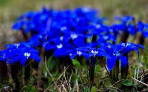 Picture flowers, beauty, Borislav Krustev, Горечавка весенняя, gentiana verna, травянистое растение