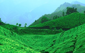 Picture Greens, Mountains, Tea