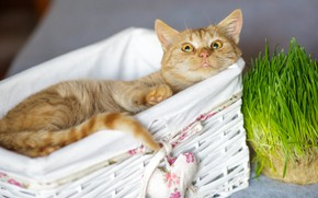Picture cat, grass, cat, look, happiness, relax, red, muzzle, cute, lies, basket, heart
