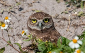 Picture look, bird, owl