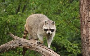 Picture look, tree, raccoon