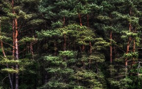 Picture pine, forest, nature