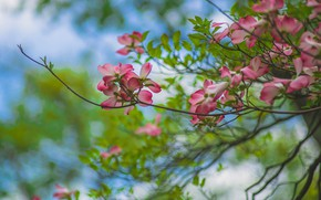 Picture flowers, branches, nature, spring, pink, flowering, green background, bokeh, dogwood