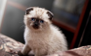 Picture Kitten, Cute, ears, Cats, Scottish, Ragdoll, Lop-eared