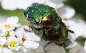 Picture macro, love, flowers, green, beetle, spring, bugs, a couple, bokeh, brantovka, pairing, two beetle
