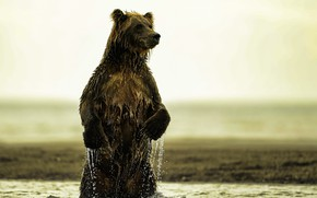 Picture nature, river, bear