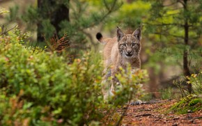 Picture forest, grass, look, branches, lynx, needles, a small lynx, a small lynx