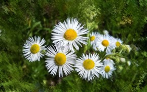 Picture flowers, mood, chamomile, beauty, beautiful, beauty, harmony, the Wallpapers, wildflowers, cool, bouquet, nice, elegantly, wedding, …