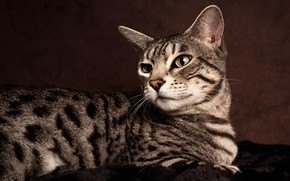 Picture cat, cat, look, background, portrait, lies, striped