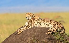 Picture stay, baby, pair, Cheetah, cub, mom, two, lie, cheetahs, hill
