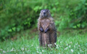 Picture greens, grass, nature, pose, clover, stand, marmot