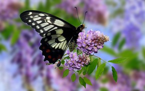 Picture Graphics, Flowers, Motyl, Wisteria