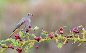 Picture berries, tree, Bird