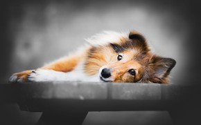 Picture look, face, bench, grey, background, mood, portrait, dog, paws, shop, puppy, lies, red, blurred background, …