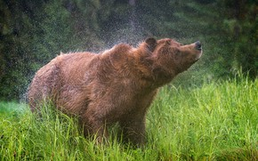 Picture grass, face, drops, squirt, wet, pose, background, movement, glade, bear, meadow, bear, skin, wildlife, brown, …