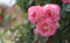 Picture roses, pink, trio, bokeh