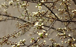 Picture flowers, branches, spring, white, grey background, Apple, buds, flowering, in bloom