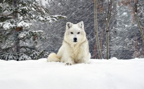 Picture snow, wolf, forrest