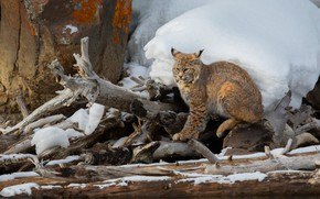Picture winter, snow, stone, lynx, logs, driftwood