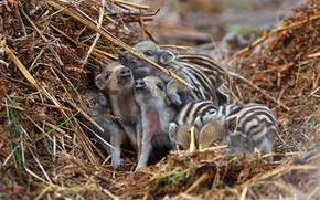 Picture hay, straw, boar, kids, a lot, a lot of small, cubs, hog, pigs, brood, boars, ...