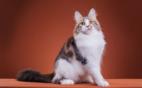 Picture cat, cat, look, pose, legs, fluffy, muzzle, cute, color, sitting, striped, friendly, breed, brown background, ...