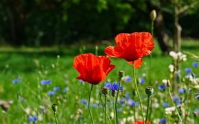 Picture field, flowers, Maki, meadow, a couple, Duo, cornflowers