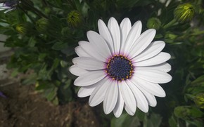 Picture Macro, Macro, Osteospermum, White flower, White flower