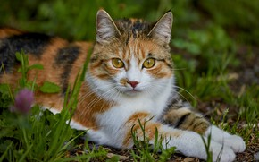 Picture cat, grass, look, face, nature, pose, paws, lies, bokeh, spotted, motley