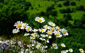 Picture chamomile, a lot, blurred background