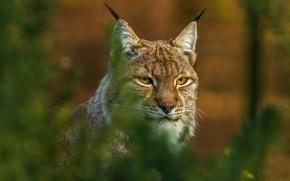 Picture cat, look, face, branches, background, portrait, lynx, bokeh