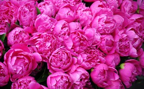 Picture Flowers, Petals, Pink, Peonies, Many